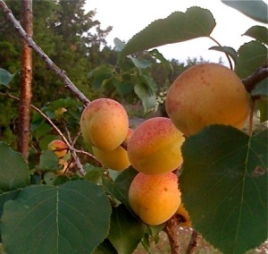 https://opuluxeltd.files.wordpress.com/2010/08/apricots.jpg?w=300